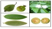 Successive and Hydroalcoholic Extraction of Powder of Psidium guajava Linn. Leaf