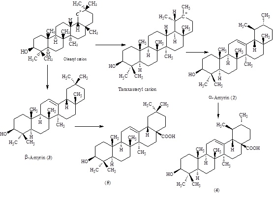 Biosynthesis of ursolic acid (4) and oleanolic acid (5) from oleanyl cation.