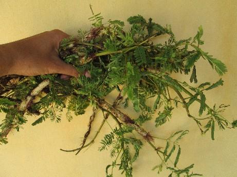 Fresh Neptunia prostrata L. (Whole plant)