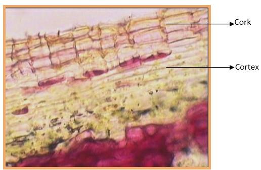 T.S of stem bark of B. Purpurea (Cork, Cortex)