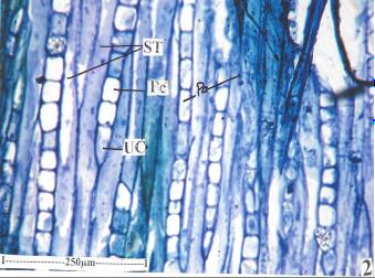 Tangential Longitudinal Section of the bark of Givotia rottleriformis