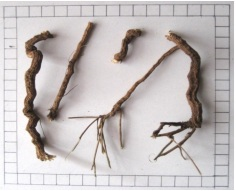 : Roots of Cissampelos pareira Linn. var. hirsute