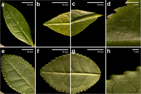 Fresh leaves of Camellia sinensis var. sinensis: a-d Young leaves; e-h Old leaves