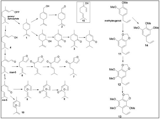 Putative biosynthetic pathways of oil constituents in perilla