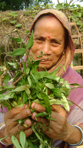 Laleng women collecting different types of wild herbs for traditional liquor