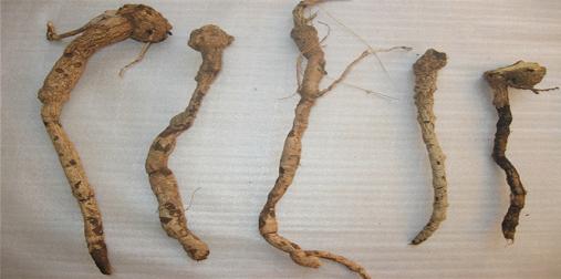 Tubers of Solena amplexicaulis (Lam.) Gandhi. (Cucurbitaceae)