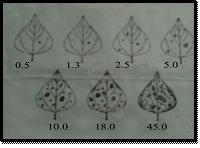 Diagrammatic Scale of Severity (% age of Leaf area Diseased) of Alternaria Leaf Spot (Alternaria sp.)