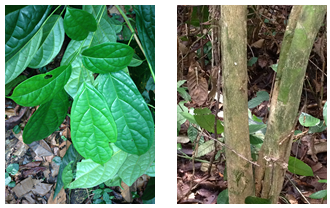T hensii plant parts: (a) = leaves; (b) = trunk.