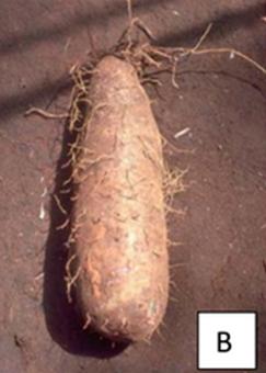 Tuber of Dioscorea alata