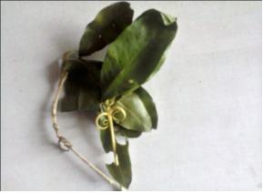 Leaves of Hugonia mystax