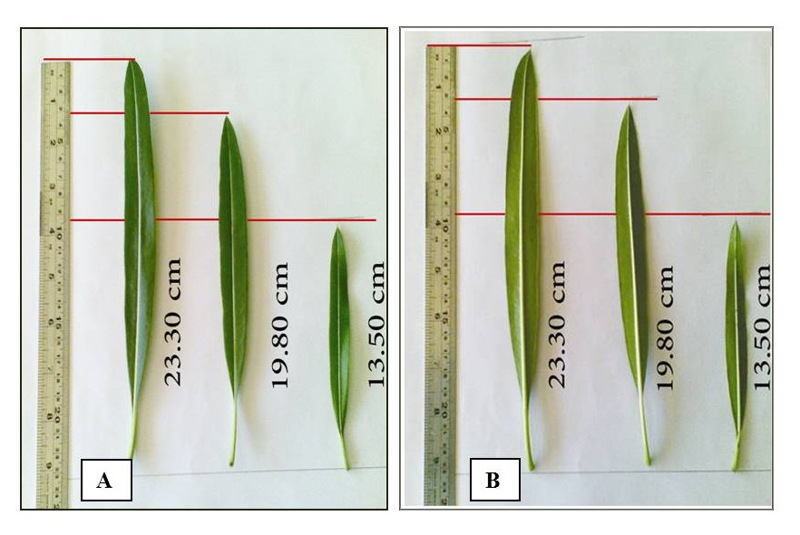 Leaves including the petiole; A-Upper surface and B-Lower surface (Both x 0.33).