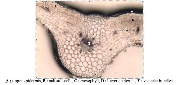 TS of Leaf of Tridax procumbens X40 A : upper epidermis, B : palisade cells, C : mesophyll, D : lower epidermis, E : vascular bundles
