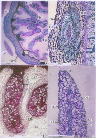 T.S of seed with seed coat and perisperm – ingrowths; endosperm not preserved in the section. 9. T.S of seed coat with complex vascular system. 10. Perisperm ingrowths with darkly stained cells (Stained with Neutral Red). 11. T.S of Aril – Marginal part