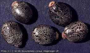 Seeds of <em>R. Communis</em>